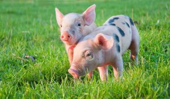 养猪经济学   如何科学养猪?