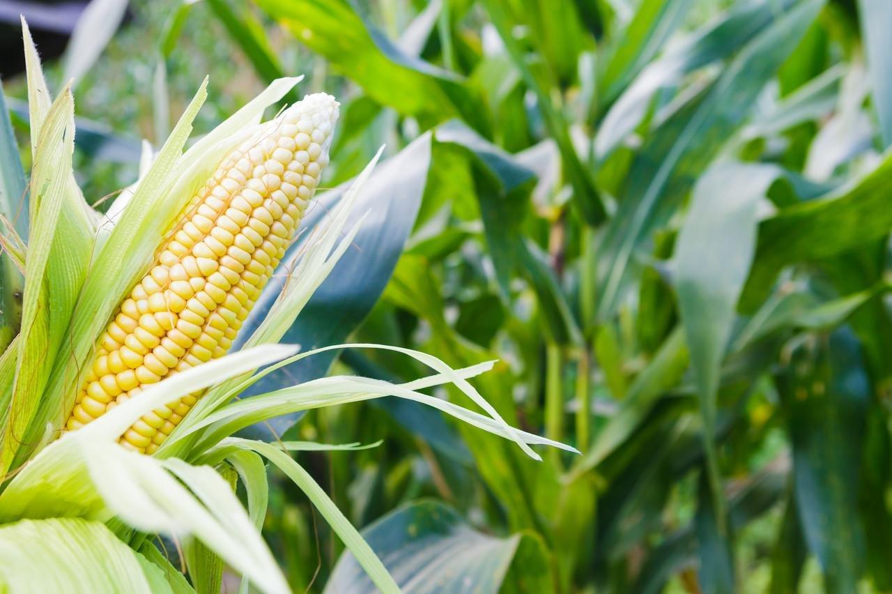 疯狂的玉米!高价致下游养殖户苦不堪言,2600后或无大幅上涨空间