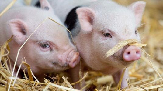 非瘟疫苗新进展!动物保健股竟高开回落,未来还有爆炒机会吗?