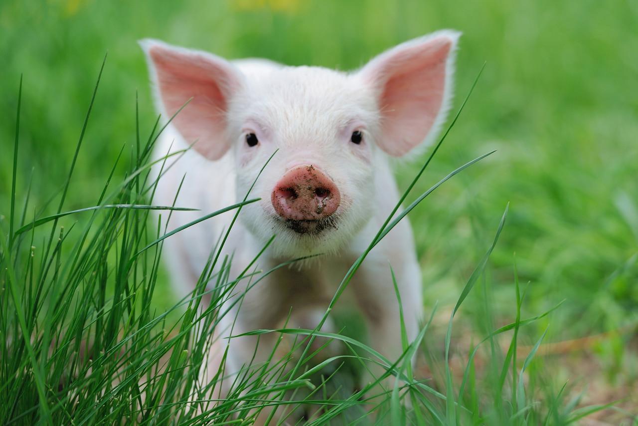 现在买猪肉股,是准备当猪吗?