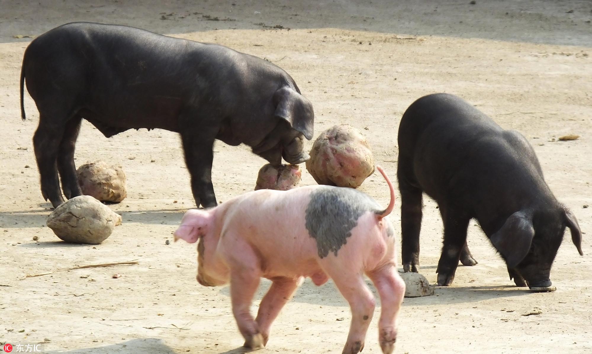 非洲猪瘟与猪通胀:俄罗斯往事