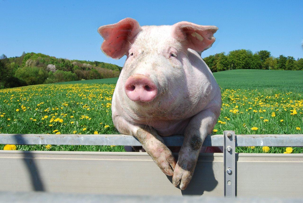 """谁偷走了你的""""猪肉自由""""?"""
