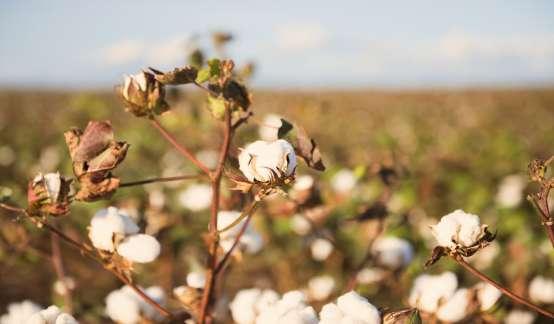 棉花期货价格创10年新高,动力煤本周第三次触及涨停