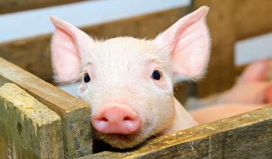 终于!猪价跌破30元/公斤,可能还要跌