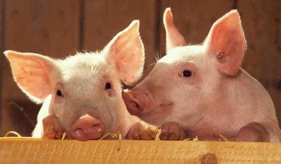 """猪价与股价""""诡异""""背离:还能上车猪肉股吗?"""