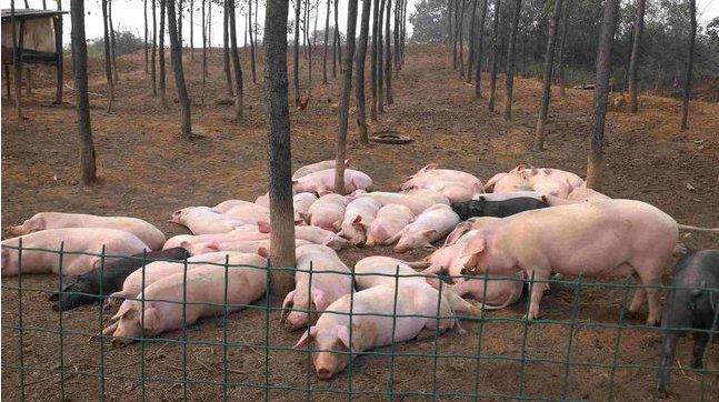 生猪产能触底反弹 生猪期货上市首日跌逾13%
