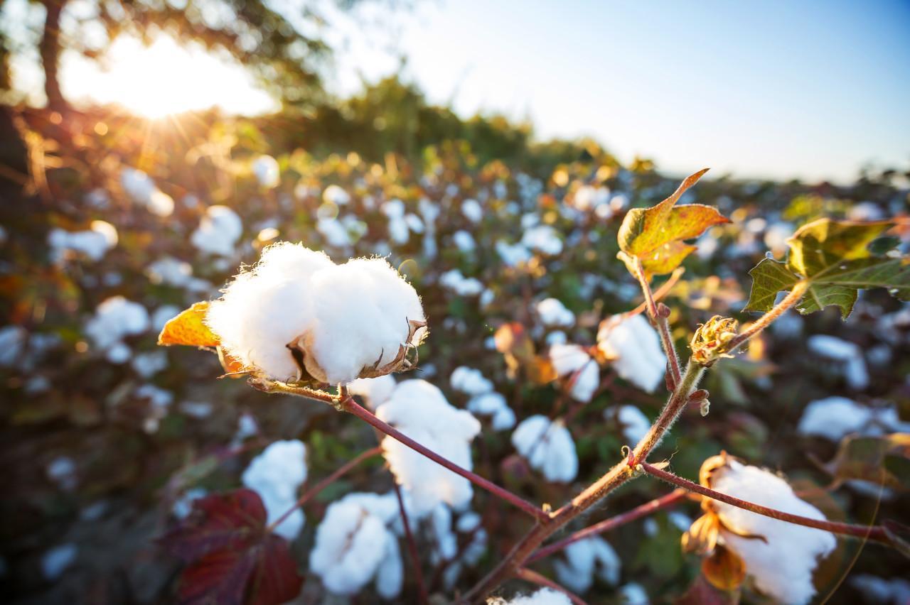 中美达成局部协议,棉花暴涨3.8%,但棉纺产业的血腥真的远去了吗?