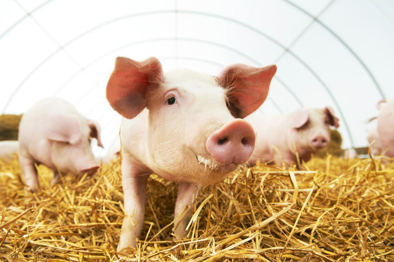 """养猪上市公司9月量降价升背后,开始押注""""得母猪者得天下"""""""
