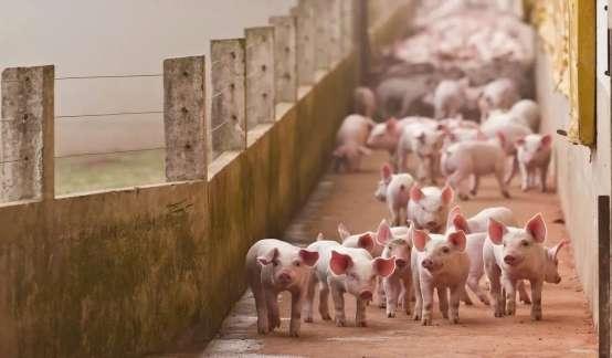 谁也逃不过猪周期